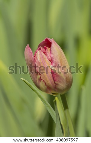 lonely romantic tulip closeup on green shiny background