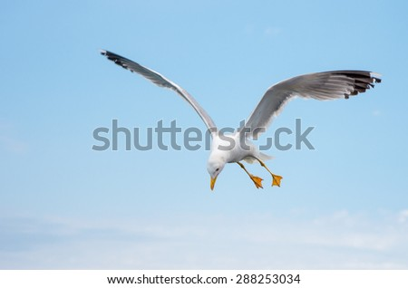 Lonely seagull in flight, hunting in blue sky - stock photo