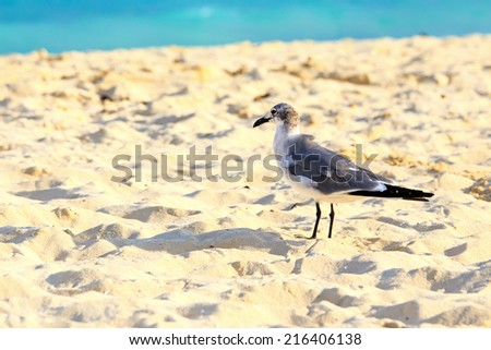 Lonely seagull on sandy beach against the background of caribbean sea - stock photo