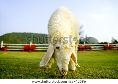 Lonely sheep in the farm - stock photo