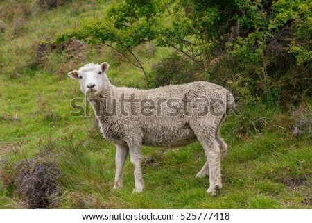 Lonely Sheep with green grass in New Zealand
