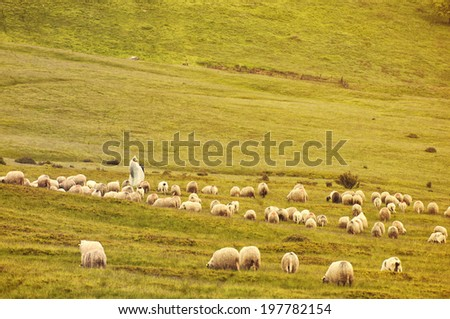Lonely shepherd with sheep  in high mountains.  - stock photo