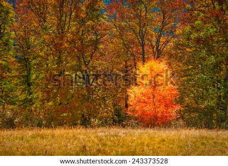 Lonely small birch against of the autumn forest - stock photo