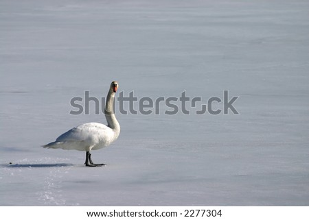Lonely swan on frozen lake - stock photo