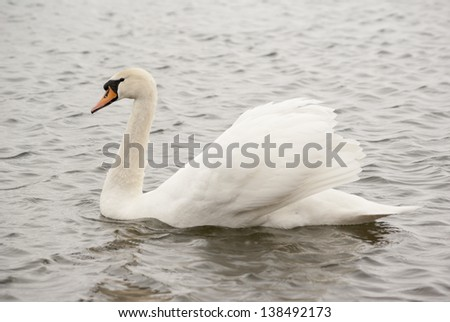 Lonely swan swimming in cold winter water