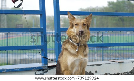 Lonely tied dog waiting for its master. Beautiful brown dog chained outside in the yard. dog waiting the owner outdoors