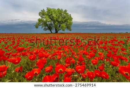 lonely tree in a poppy field - stock photo