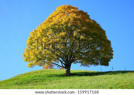 lonely tree in autumn  - stock photo