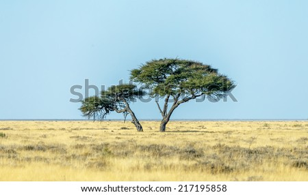 Lonely tree in Etosha National Park - Namibia, South-West Africa - stock photo