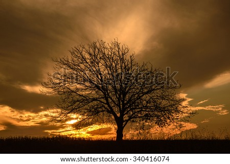 Lonely tree in sunset.