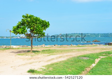 Lonely tree in the city of Galle on the background of the Bay on the island of Sri Lanka.