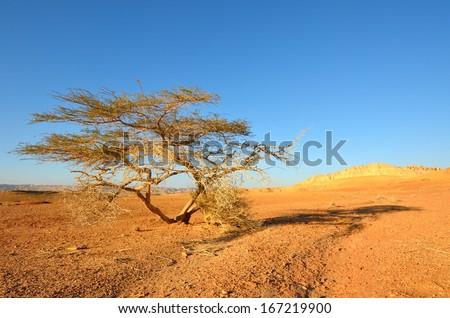 Lonely tree in the desert. Southwestern Arabah, Israel. - stock photo