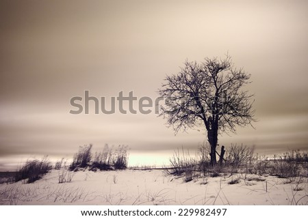 Lonely tree in windy winter