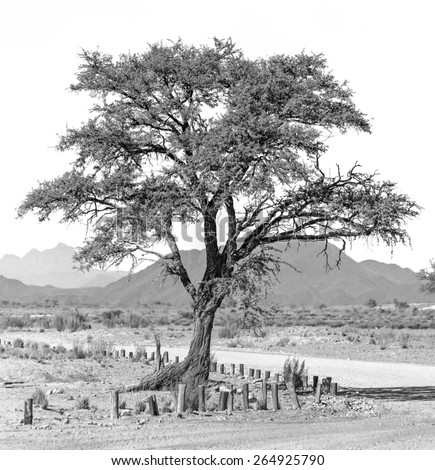 Lonely tree  - Namibia, South-Western Africa (black and white) - stock photo