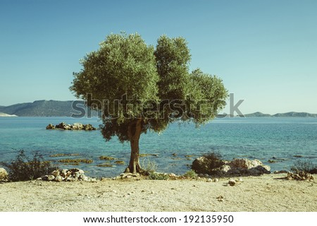 lonely tree olive on the Mediterranean Sea - stock photo