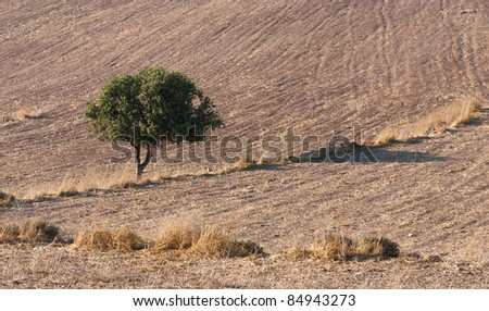 Lonely  tree on an empty field from Cyprus nature