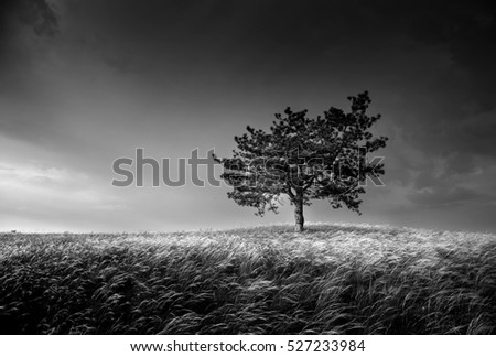 Lonely tree on the field with feathergrass,black and white photo