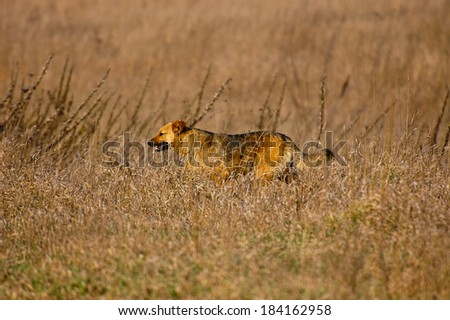 Lonely vagabond dog in the dry grass field - stock photo