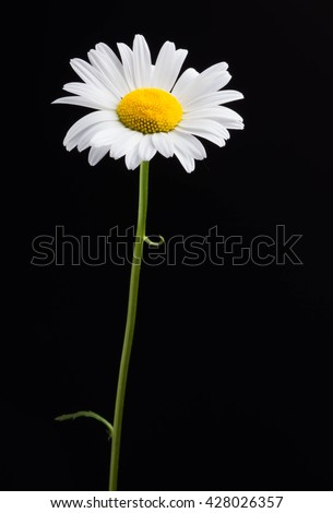 white daisy stock images, royaltyfree images  vectors  shutterstock, Beautiful flower
