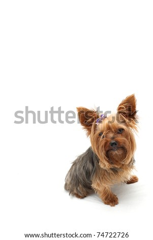Lonely Yorkshire Terrier - stock photo