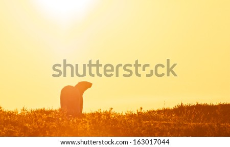 Lonesome Canadian Polar Bear walking into a glaring sunset over the Arctic tundra, with lots of space for your text - stock photo
