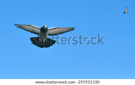 Lonesome dove flying on blue sky background. - stock photo