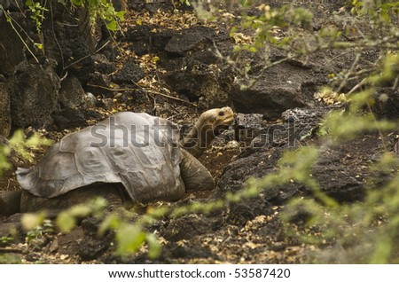 Lonesome George at the Charles Darwin Research Station - Last of his kind. Giant Tortoise, Galapagos Islands. - stock photo