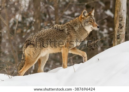 Loney coyote in winter - stock photo