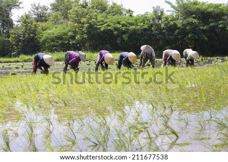 LONG AN, VIETNAM- : Group of Vietnamese farmer sow rice on paddy field, they transplant rice seeding on muddy plantation of agricultural country, Viet Nam, August 17, 2014 - stock photo