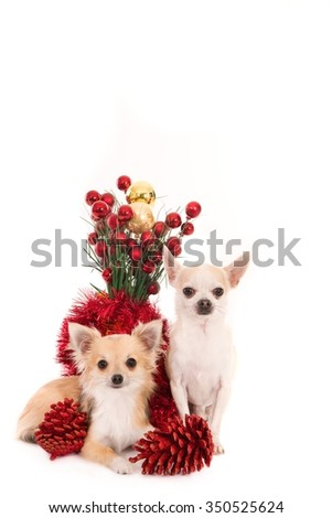 Long and short haired Chihuahua dogs with Christmas decorations, isolated on white - stock photo
