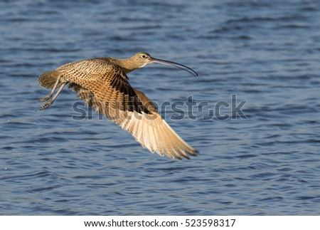 Long-billed curlew (Numenius americanus) flying over the ocean, Galveston, Texas, USA