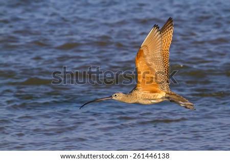 Long-billed curlew (Numenius americanus) flying over water, Galveston, Texas, USA. - stock photo