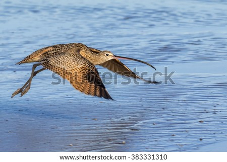 Long-billed curlew (Numenius americanus) taking off at the ocean coast, Galveston, Texas, USA. - stock photo