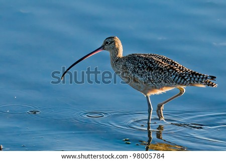Long-billed Curlew (Numenius americanus). The Long-billed Curlew is a large North American shorebird of the family Scolopacidae. - stock photo