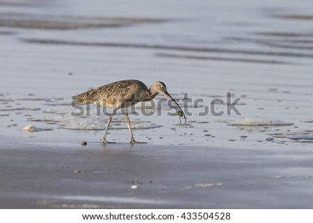 Long-billed Curlew with tiny crab on beach at Morro Bay California - stock photo