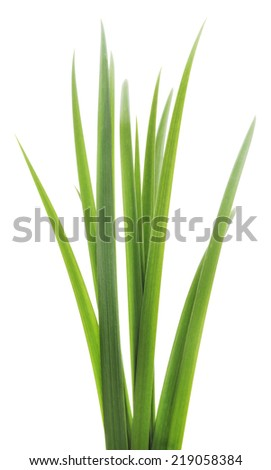 Long blades of green grass against a white background.  - stock photo