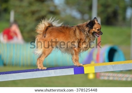 Long Coat Chihuahua on a Teeter-Totter at a Dog Agility Trial - stock photo