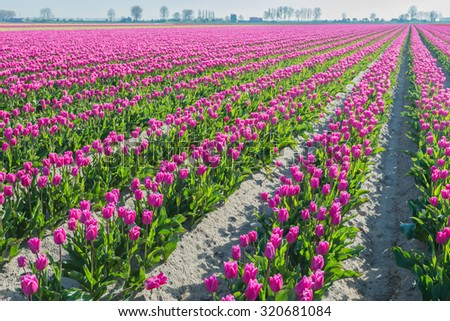 Long converging beds of pink tulips in a Dutch bulbs nursery. It's early in the morning on a sunny day in the spring season. - stock photo