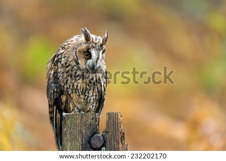 Long Eared Owl against a background of burnt orange autumn bracken/Long Eared Owl/Long Eared Owl (asio otus) - stock photo