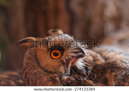 Long-eared owl against a tree in nature - stock photo