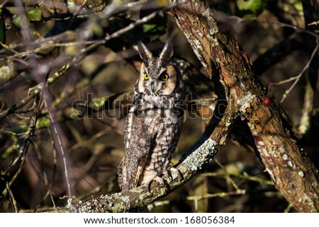 long eared owl and well Camouflage - stock photo