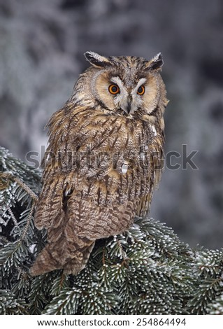 Long-eared Owl (Asio otus)      - stock photo