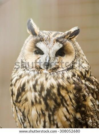 Long-eared owl , Asio otus - stock photo
