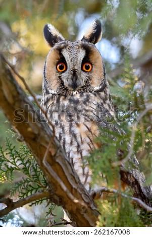long-eared owl (Asio otus) in the tree - stock photo
