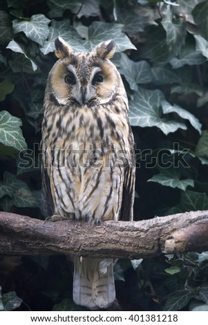 Long-eared Owl, Asio otus, is inconspicuous owl - stock photo