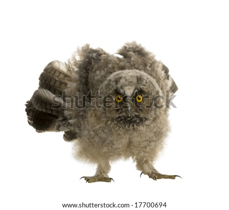 Long-eared Owl - Asio otus (7 weeks)  in front of a white background - stock photo