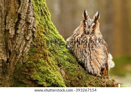 Long eared owl by tree trunk - stock photo
