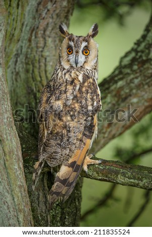Long-eared owl  in natural environment - stock photo