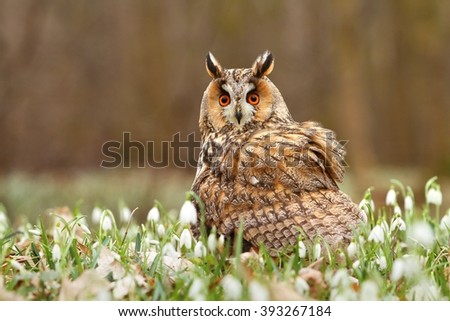 Long eared owl in snowflakes - stock photo