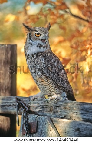 Long eared owl on farm fence,fall color background - stock photo